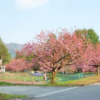 猪苗代 桜